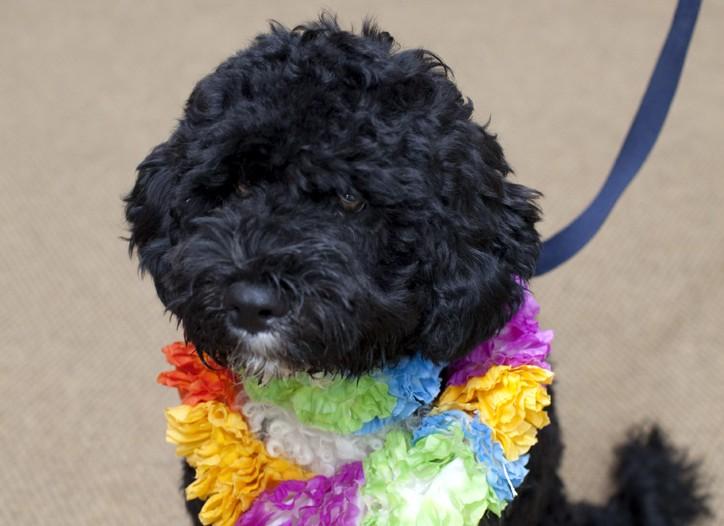 The Obamas' dog Bo.