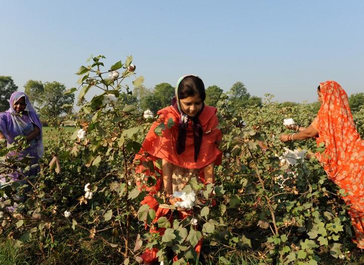 Indian farm hands pluck cotton at a field in Badarkha village.