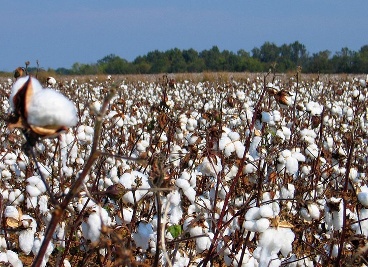 Cotton Price Squeeze Goes On