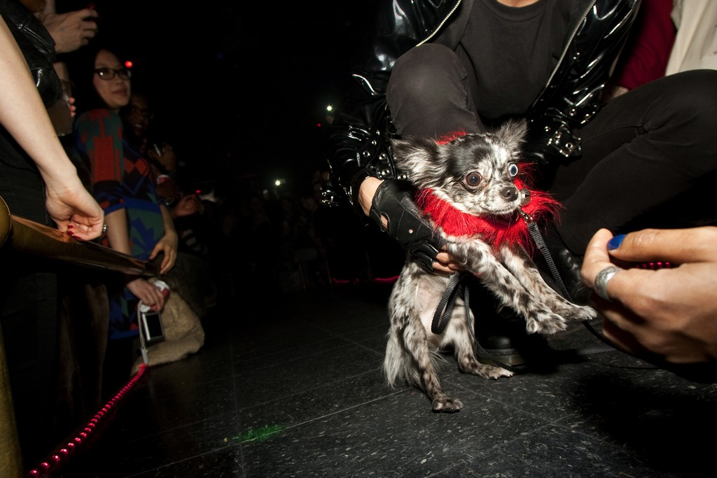 One of VICE's canine models on the catwalk.