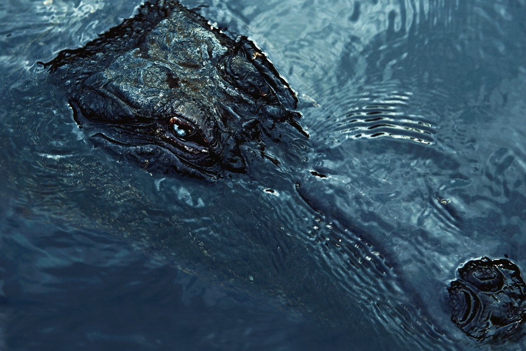 WILD LIFE: This Everglades alligator swam dangerously close to our cover subject.