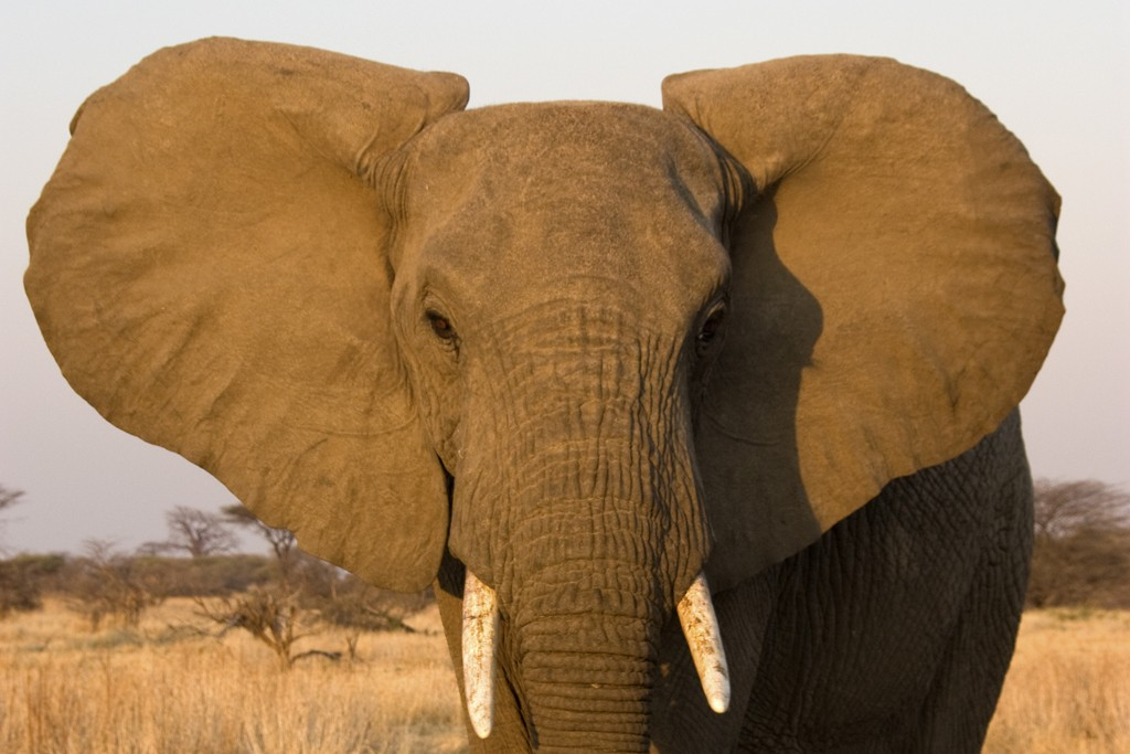 Ending The Ivory Trade
