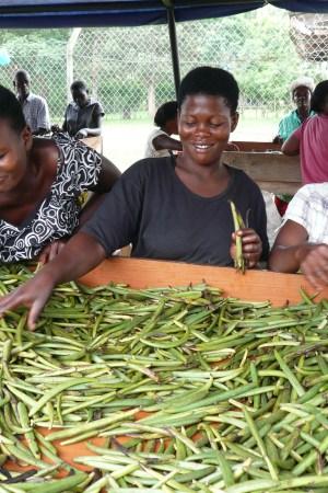 Vanilla bean farmers in Uganda.