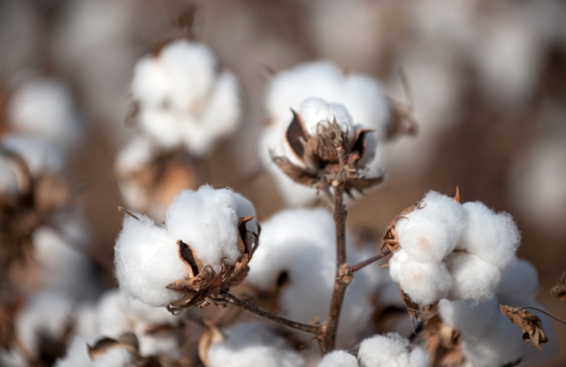 Most of the water used in making jeans is for growing cotton.