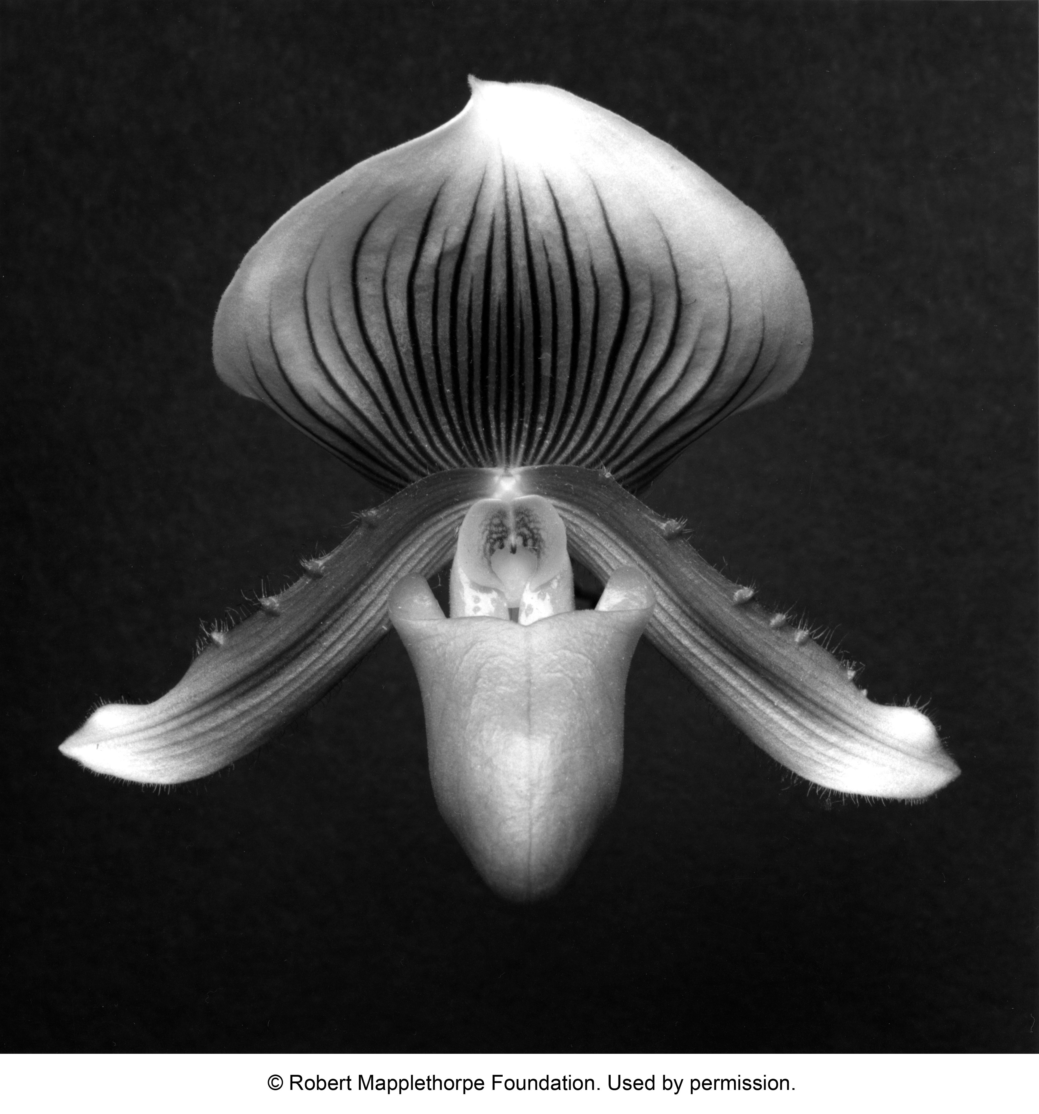 A Robert Mapplethorpe photo of an orchid from 1988