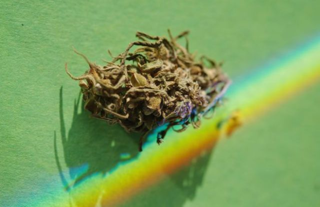 Buds of CBD - Grass in colorful rainbow lighitng