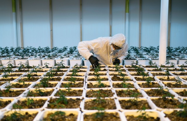 An employee works in an indoor cultivation facility of CBD hemp plants at Medropharm, pictured in Kradolf-Schoenenberg, Canton of Thurgau, Switzerland, on October 18, 2017. Medropharm specialises in the extraction, production and marketing of pharmaceutical grade cannabinoids and cannabinoid-containing products.Archive
