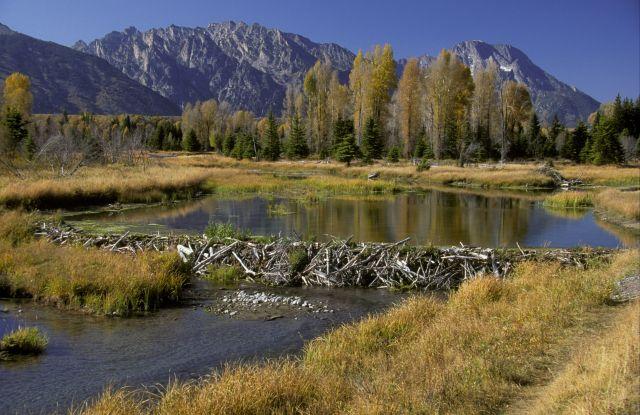 Beaver dam at Snake River in Grand Teton National Park in Wyoming.