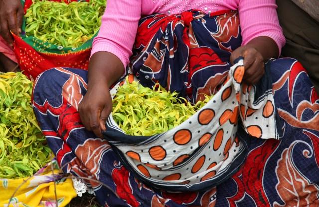A woman collects ylang-ylang for Givuadan on Mwali.