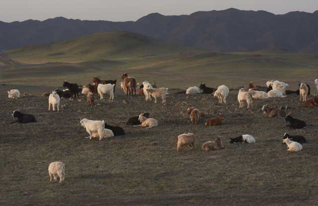 Goats in Mongolia, where Kering is working with the Wildlife Conservation Society.