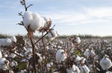Branch of ripe cotton on the cotton field