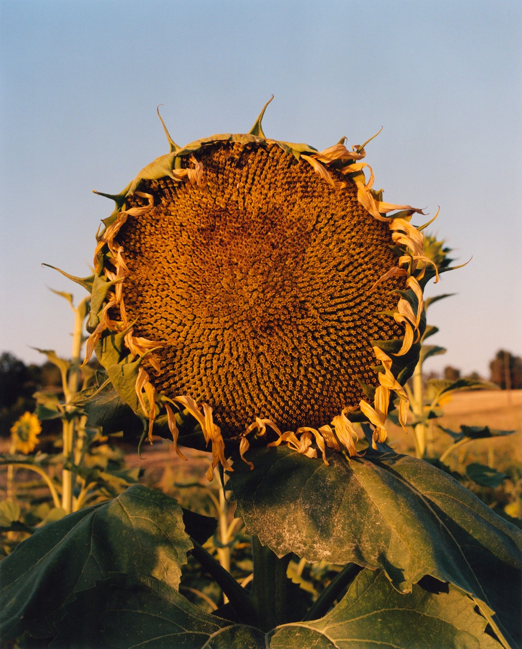 Sunflower by Jamie Hawkesworth, will be sold the online marketplace Beirut Re-Store