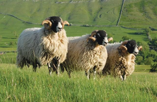 British sheep