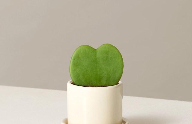 the-sill_hoya-heart_variant_mini_hyde_cream