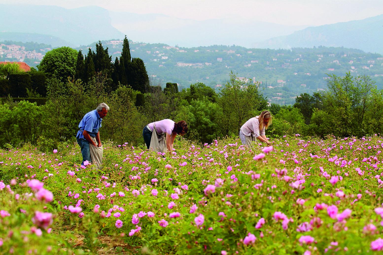A rose de mai harvest at Le Domaine de Manon