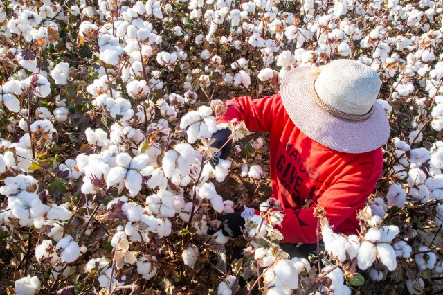 A farmer picks cotton in the field in Hami in northwest China's Xinjiang Uygur Autonomous Region Friday, Oct. 09, 2020. (FeatureChina via AP Images)
